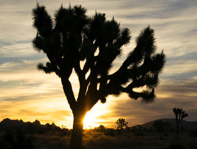 Joshua Tree Sunrise by Nettie Pena