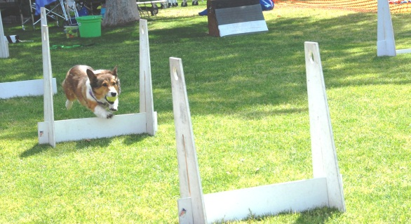 2 Fast 4 Paws Timmy hurdles